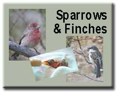 Sparrows & Finches