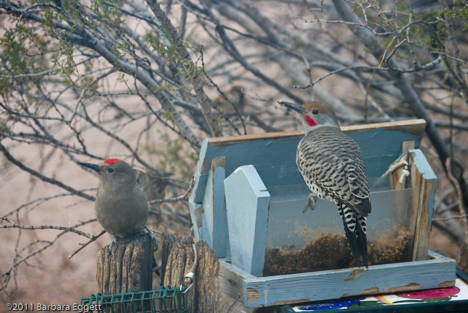 Woodpecker and Flicker
