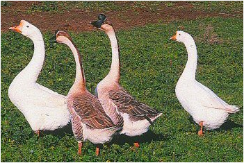 White and Brown Chinese Geese
