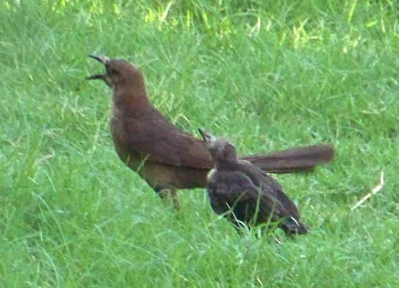 Grackle Mother and Fledgling