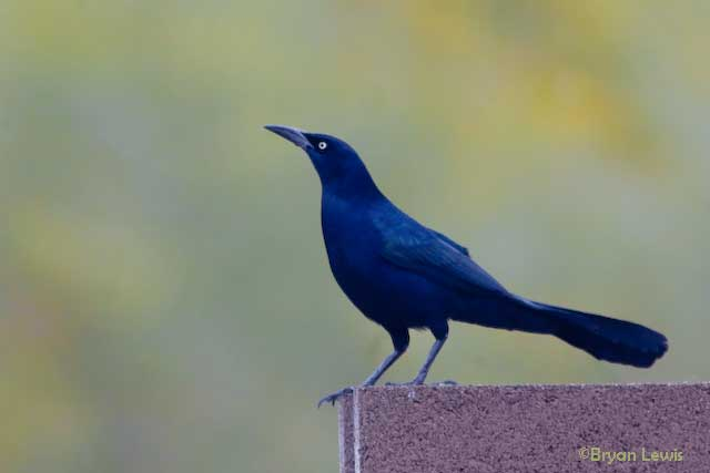Adult Grackle