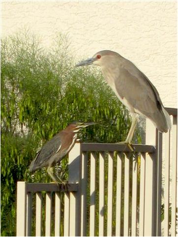 Green Heron and Black Crown Night Heron