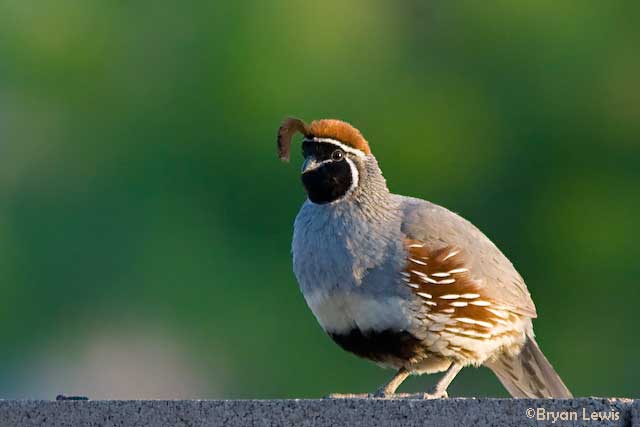 Adult Male Gambel's Quail