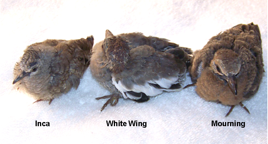 Inca, White Wing, Mourning