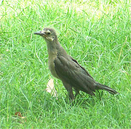</a><strong>Juvenile Grackle</strong> </div></td>                                     </tr>                                     <tr>                                       <td height=