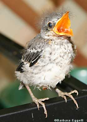 Fledgling Mockingbird