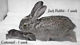 Jack Rabbit and Cotton Tail Rabbit - 1 Week Old.