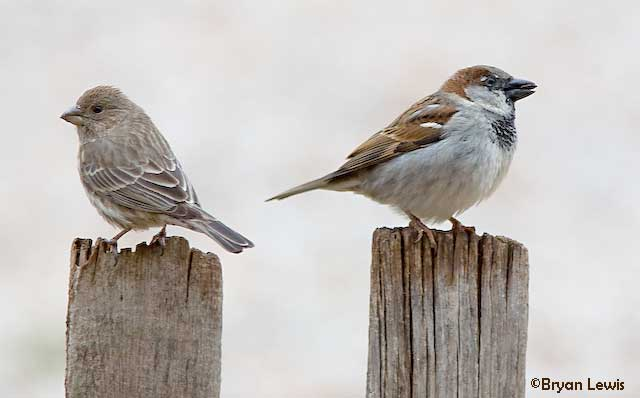 Female and Male Sparrow