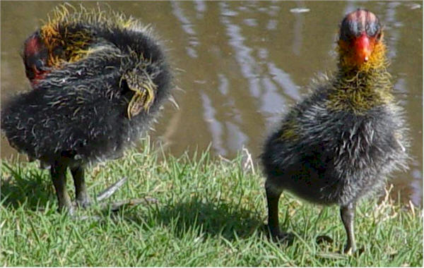 Common Coot Babies